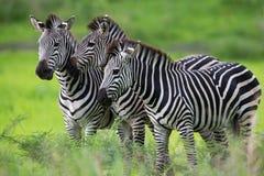 Famiglia della zebra Fotografia Stock Libera da Diritti