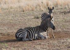 Famiglia della zebra Immagine Stock Libera da Diritti