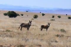Famiglia della zebra che è avvisata immagine stock