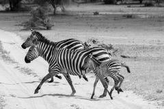 Famiglia della zebra di B&W nel parco nazionale di Tarangire, Tanzania Fotografie Stock