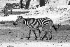 Famiglia della zebra di B&W nel parco nazionale di Tarangire, Tanzania Fotografia Stock