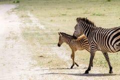 Famiglia della zebra nel parco nazionale di Tarangire, Tanzania Fotografia Stock Libera da Diritti