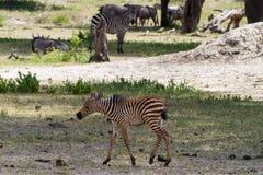 Famiglia della zebra nel parco nazionale di Tarangire, Tanzania Immagine Stock Libera da Diritti