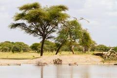Famiglia della zebra nel parco nazionale di Tarangire, Tanzania Fotografie Stock Libere da Diritti