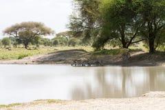 Famiglia della zebra nel parco nazionale di Tarangire, Tanzania Fotografia Stock