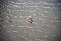 Famiglia delle anatre nell'acqua Fotografia Stock Libera da Diritti