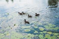 Famiglia delle anatre nell'acqua Fotografie Stock Libere da Diritti