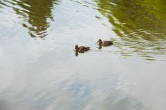 Famiglia delle anatre nell'acqua Immagine Stock Libera da Diritti