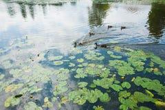 Famiglia delle anatre nell'acqua Immagini Stock Libere da Diritti