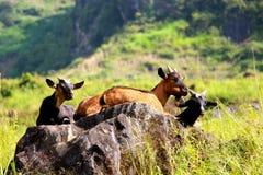 Famiglia delle capre che assorbono i raggi di primo mattino di sole Immagini Stock Libere da Diritti
