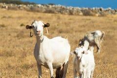 Famiglia delle capre un giorno soleggiato alla natura Immagine Stock Libera da Diritti