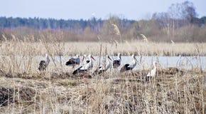 Famiglia delle cicogne vicino al lago Fotografia Stock