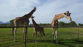 Famiglia delle giraffe Immagine Stock Libera da Diritti