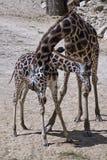 Famiglia delle giraffe Fotografie Stock Libere da Diritti