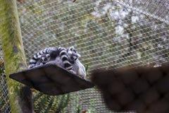 Famiglia delle lemure Fotografia Stock