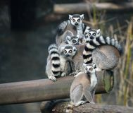 Famiglia delle lemure catta Immagini Stock