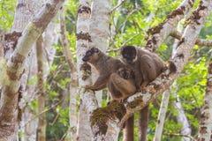 Famiglia delle lemure di Brown Immagini Stock Libere da Diritti