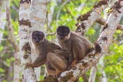 Famiglia delle lemure di Brown Fotografia Stock