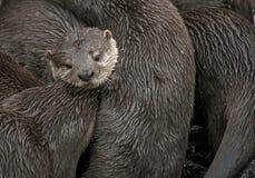 Famiglia delle lontre di fiume Fotografia Stock