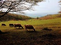 Famiglia delle mucche sul pendio di collina fotografia stock libera da diritti