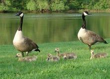 Famiglia delle oche del Canada Fotografie Stock