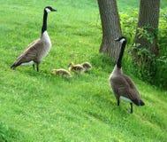 Famiglia delle oche del Canada Immagine Stock