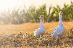 Famiglia delle oche sull'orlo di un'azienda agricola al tramonto Fotografie Stock