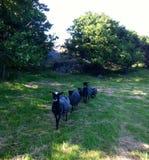 Famiglia delle pecore Fotografia Stock