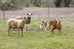 Famiglia delle pecore Immagini Stock Libere da Diritti