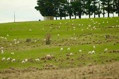 Famiglia delle pecore sulla strada Fotografia Stock Libera da Diritti