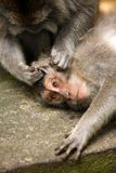 Famiglia delle scimmie immagine stock