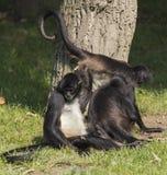 Famiglia delle scimmie Fotografie Stock