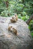 Famiglia delle scimmie di macaco del toque in habitat naturale nello Sri Lanka Immagini Stock