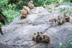 Famiglia delle scimmie di macaco del toque in habitat naturale nello Sri Lanka Fotografie Stock