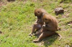 Famiglia delle scimmie di macaque Fotografia Stock Libera da Diritti