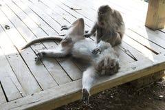 Famiglia delle scimmie nella giungla bali Fotografia Stock Libera da Diritti