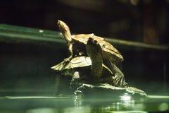 Famiglia delle tartarughe immagini stock libere da diritti