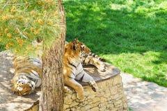 Famiglia delle tigri dell'Amur o tigri siberiane, o tigri siberiane, o il altaica dell'Estremo-Oriente del Tigri della panthera d Fotografie Stock Libere da Diritti