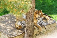 Famiglia delle tigri dell'Amur o tigri siberiane, o tigri siberiane, o il altaica dell'Estremo-Oriente del Tigri della panthera d Fotografia Stock Libera da Diritti
