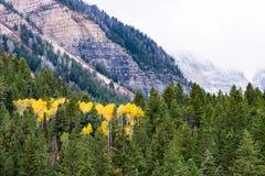 Famiglia delle tremule di tremito gialle in alberi sempreverdi vivi fotografie stock libere da diritti