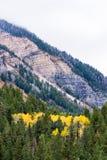 Famiglia delle tremule di tremito gialle in alberi sempreverdi vivi immagini stock libere da diritti