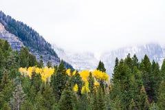 Famiglia delle tremule di tremito gialle in alberi sempreverdi vivi fotografia stock