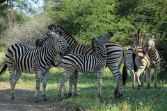 Famiglia delle zebre Fotografia Stock