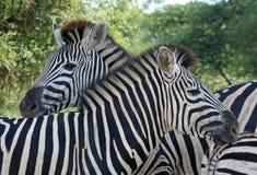 Famiglia delle zebre Immagini Stock Libere da Diritti