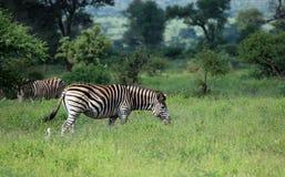 Famiglia delle zebre Immagini Stock