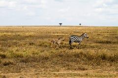 Famiglia delle zebre dentro in Serengeti, Tanzania Fotografia Stock