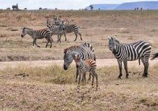Famiglia delle zebre nel parco del serengeti Fotografia Stock