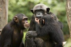 Famiglia dello scimpanzé Fotografia Stock