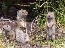 Famiglia dello scoiattolo a terra di Uinta Fotografie Stock Libere da Diritti