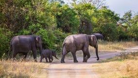 Famiglia dello Sri Lanka di camminata dell'elefante Fotografia Stock Libera da Diritti